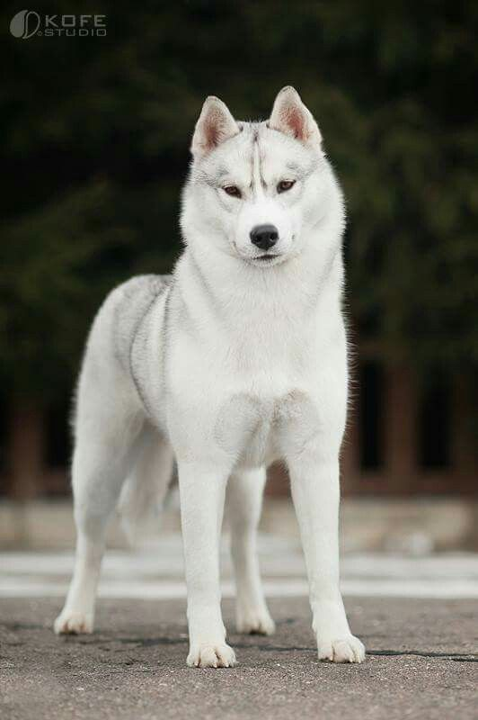 Silver white HUSKY                                                                                                                                                                                 More