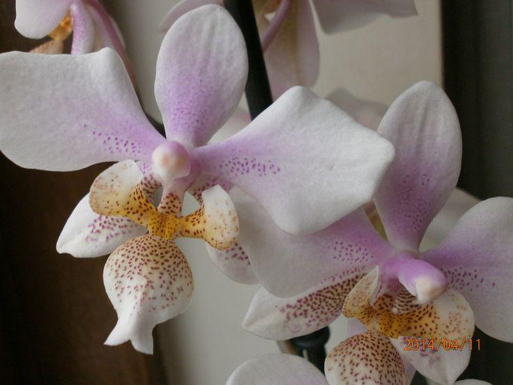 Phalaenopsis  Philadelphia.