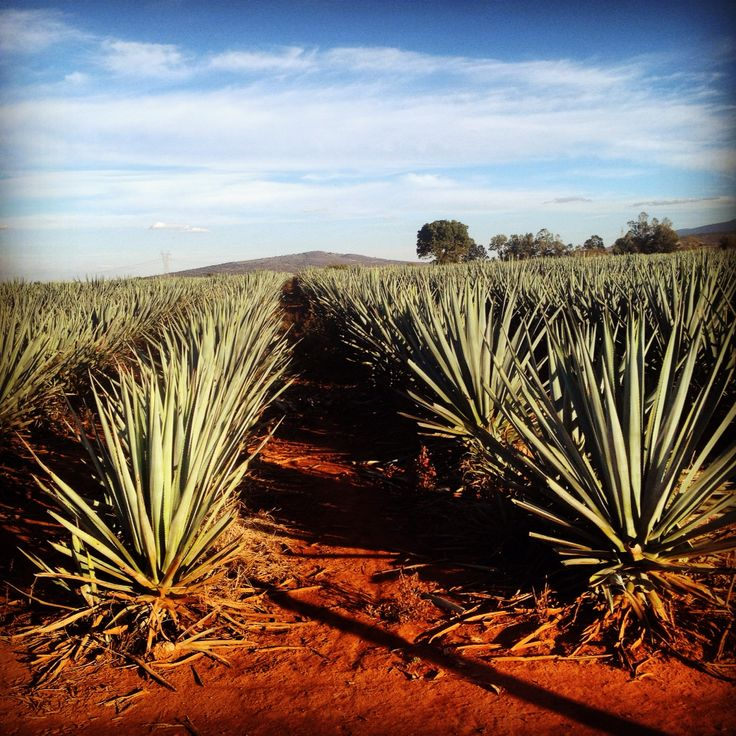 El Agave Azul de la zona de Tepatitlan Jalisco es único. Estas tierras dan un sabor de distinción al Tequila de las región.