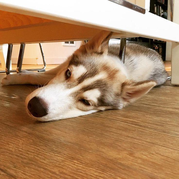 """Good Saturday Morning, from sleepy Mika. #mlh #husky # ..."