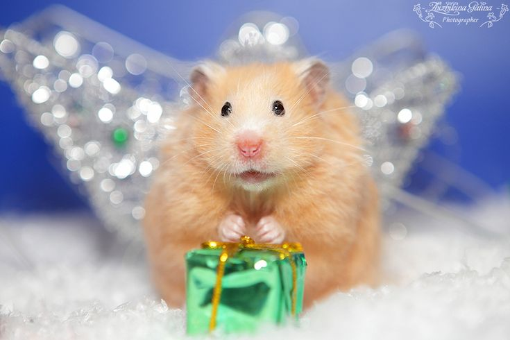 Is it time for presents yet? [Merry Christmas and hamster by Galina Zhizhikina, via 500px]
