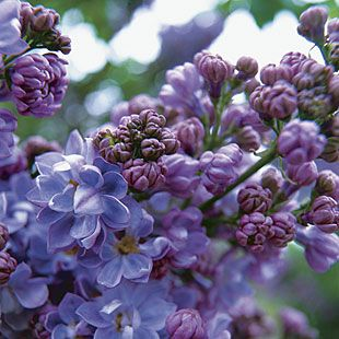 Syringa vulgaris 'Henri Robert':  This cultivar has double bluish-purple flowers that open from violet buds in midseason. It forms a shrub 12 feet high by 8 feet wide.
