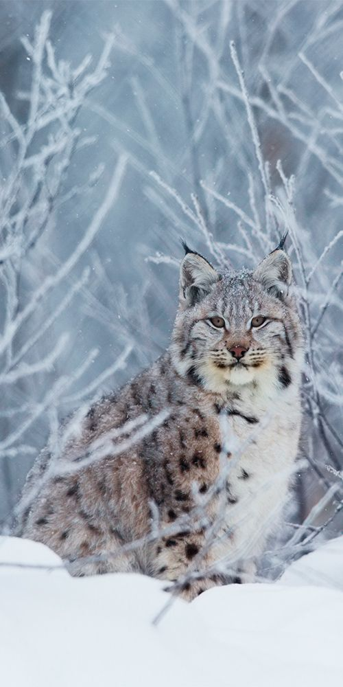 The Illusive Lynx ~ In Northern Norway. (#Scandinavia )