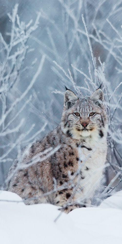 The illusive Lynx in northern Norway #Scandinavia
