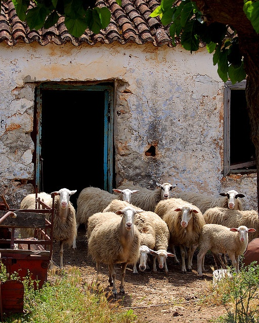 Sheep from the village of Armeni on the island of Crete