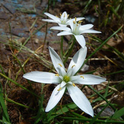 Star of Bethlehem Flower - Flower