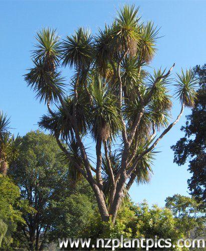 Cordyline australis - southern cabbage tree, ti kouka