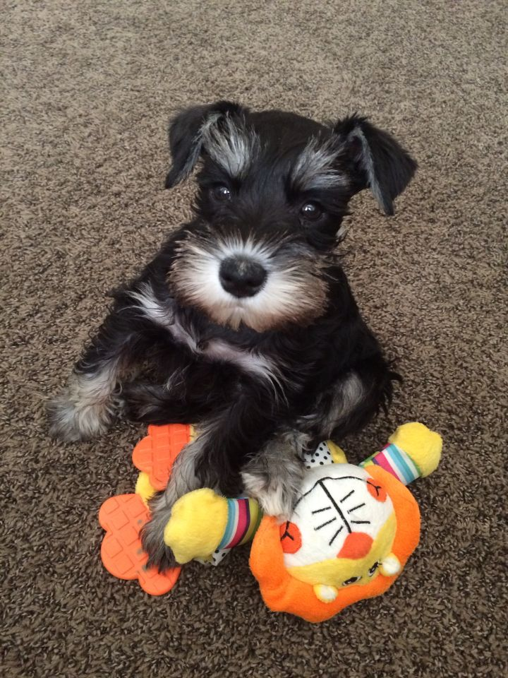 Miniature schnauzer puppy! Who can resist this face