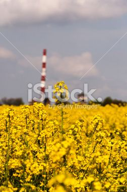 Canola (Brassica napus L. subsp. Napus) Royalty Free Stock Photo