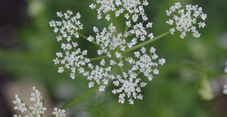 Chimionul - expectorant, laxativ și balsam pentru durerile abdominale | Paradis Verde