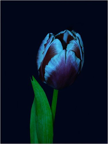 Here is a picture of blue tulips similar to the ones I planted in the yard. Keep your fingers crossed that mine adapt and take off.