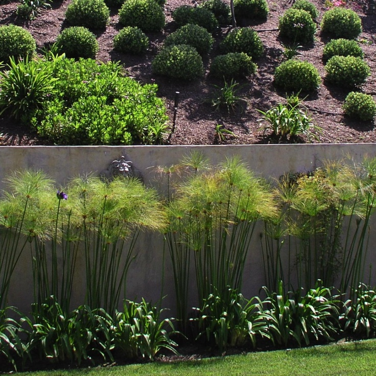 Papyrus, umbrella plant. very versatile plant and keep their beautiful structure with little maintenance. Studio H Landscape Architecture. Los Angeles Orange County Architect. garden design, landscaping ideas