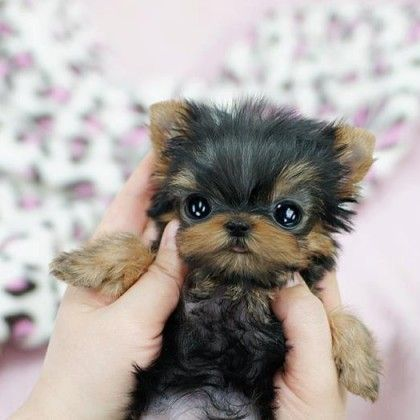 Teacup puppies with anime eyes...so obsessed