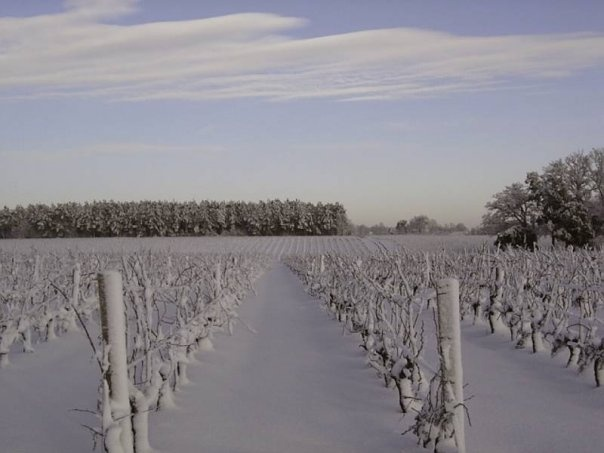 Château Fonchereau vines in the winter.