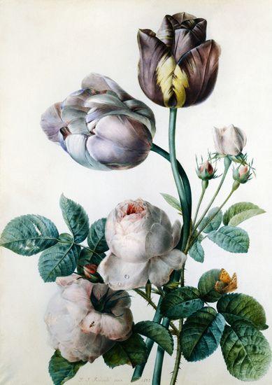 Pierre Joseph Redouté - Cabbage Rose