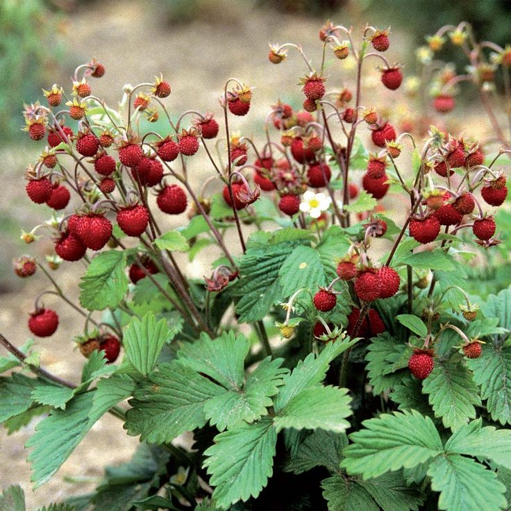 "For 2014: Fragaria vesca / Woodland Strawberry - ""superbly sweet strawberries""  Thompson & Morgan"