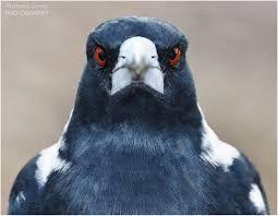 Image result for closeup magpie australian