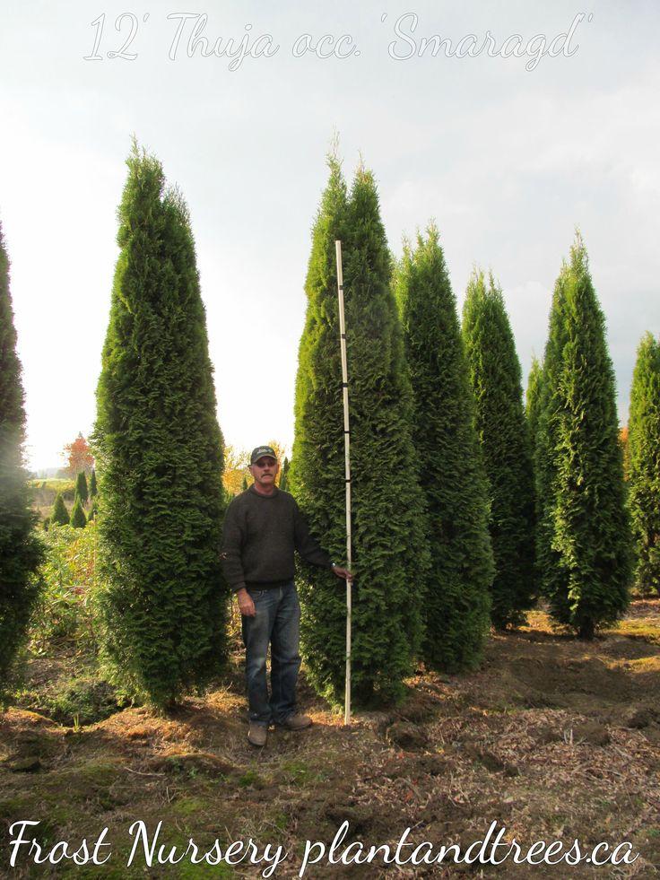 12' Emerald Cedars Hedging Cedars Vancouver Frost Nursery