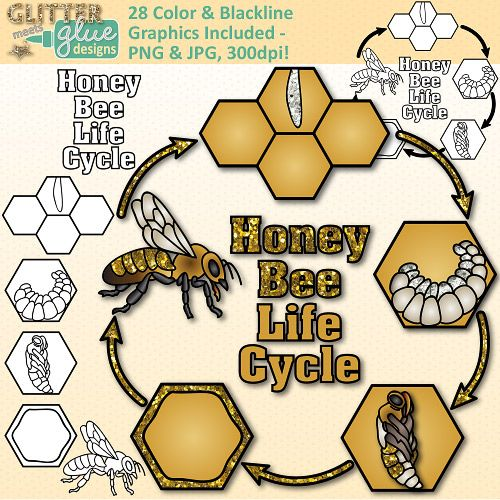 Honey Bee Life Cycle Clip Art Great For Animal Groups