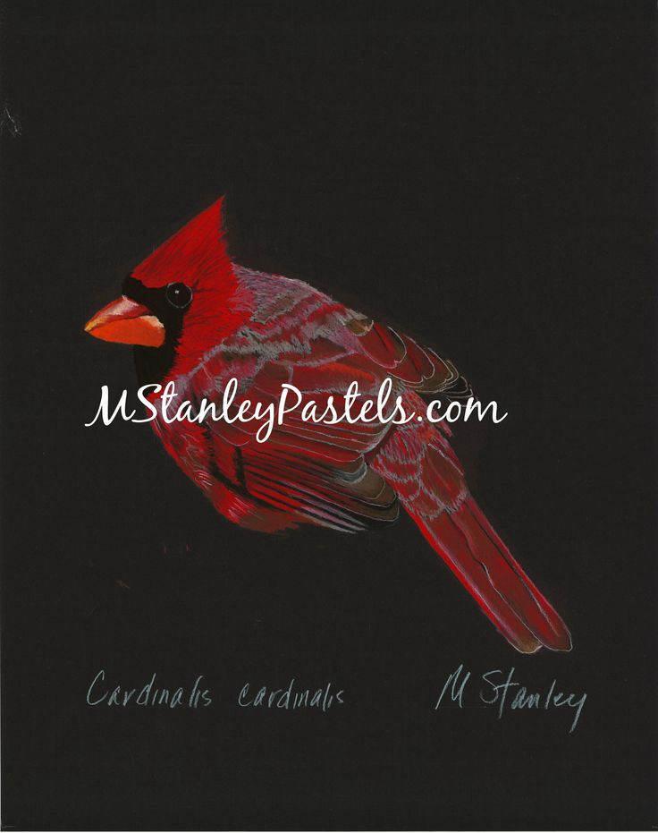 Pastel drawing of the cardinal Cardinalis cardinalis. Wish to purchase it? Please go to http://www.etsy.com/shop/mstanleypastels
