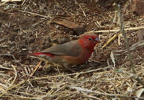A red-billed fire finch finds meagre pickings in the dry winter grasses ...