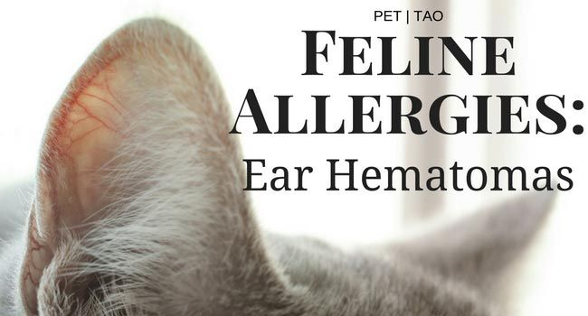 Ear Hematomas: The Most Costly Cat Allergy Symptom