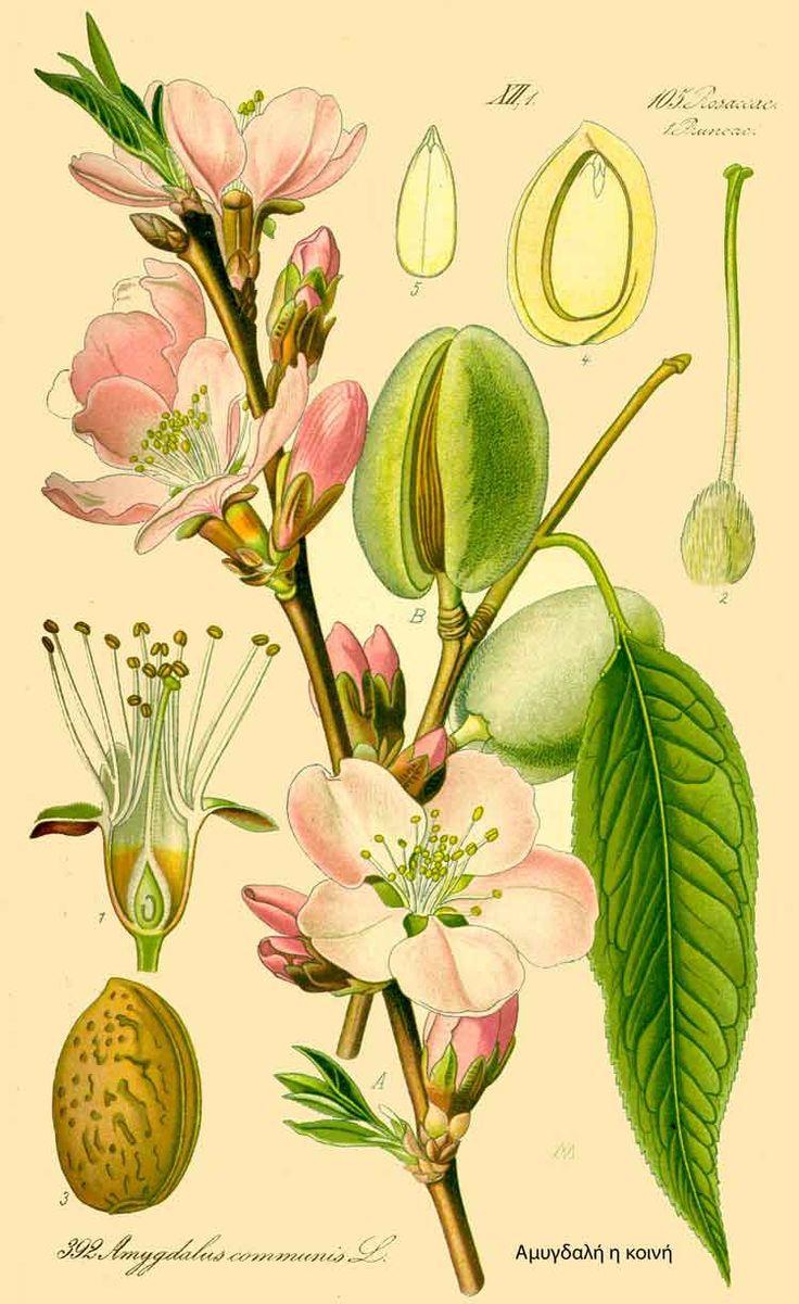 φυλλα εργασιας για την αμυγδαλια - Αναζήτηση Google