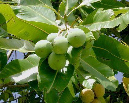 Tamanu, calophyllum inophyllum : fiche médicale sur l'huile de tamanu (temanu)