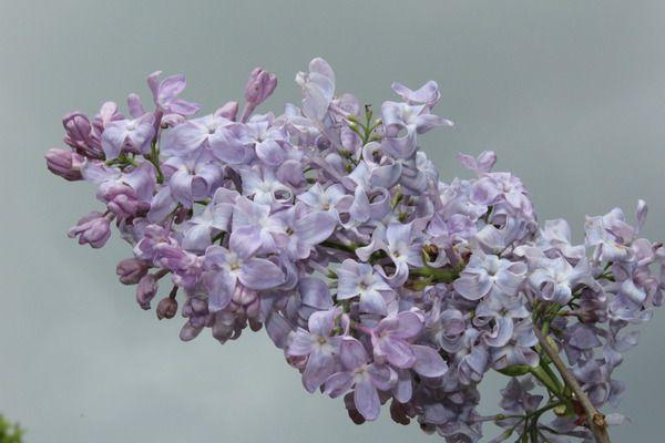 Flieder, Hyazinthen-Flieder Lavender Lady: Syringa x hyacinthiflora Lavender Lady: Gleichmässig wachsender amerikanischer Flieder mit purpurfarbenen einfachen Blüten