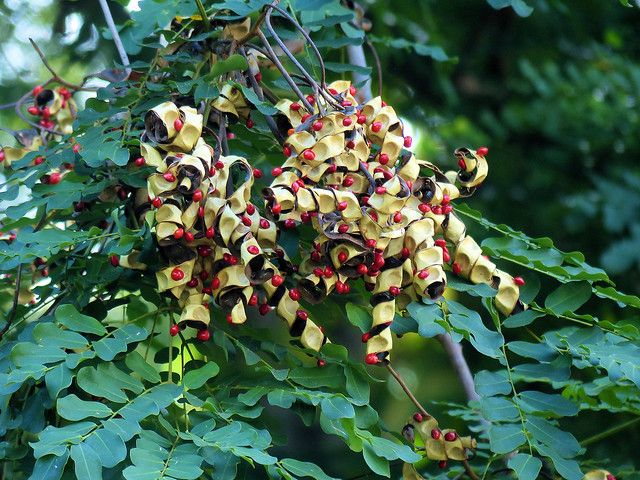 026 Red Luck Seed Tree Or Acacia Coral Adenanthera Pavonina Nature Walk Couples Barbados Herbal Plants Walking In Nature Nature