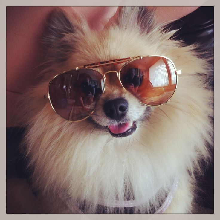 Dogs Wearing Sunglasses Poms Dogs Sunglasses Cute Animals