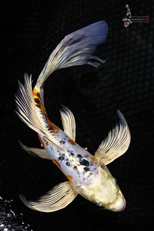 10 heisei nishiki butterfly fin koi live fish nextdaykoi for Butterfly koi fish aquarium