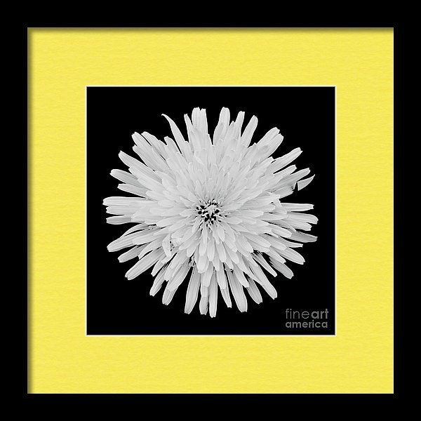 Taraxacum Officinale Framed Print featuring the photograph Dandelion by Sverre…