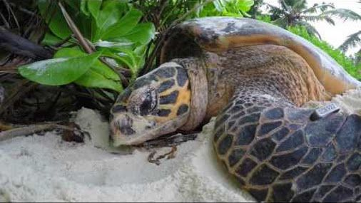 A critical part of the North Island vision is the restoration of this tropical granite island under a programme known as the Noah's Ark Project. Green and hawksbill turtles are two of these species, both using the beaches of North Island for their nest sites. Green turtles are classified by the IUCN as Endangered, while hawksbill turtles are listed as Critically Endangered.