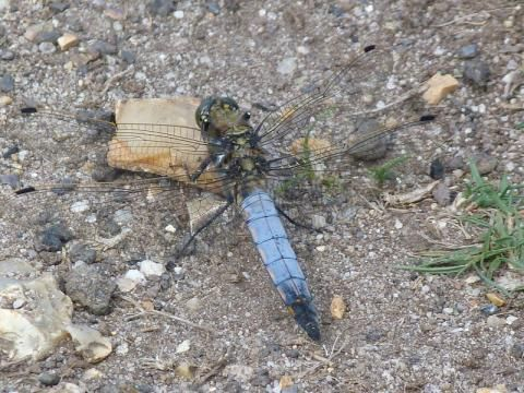Black-tailed Skimmer: skimming the surface | Nature Notes from Dorset