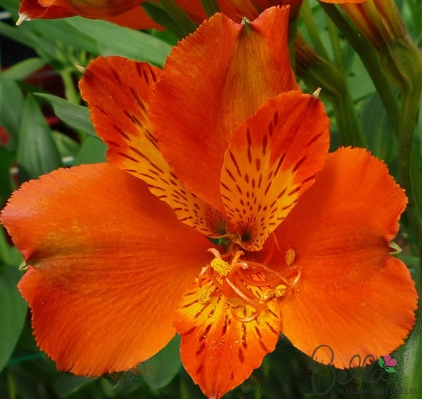 Orange Beatrice Peruvian Lilies flowers for your Wedding centerpieces and bouquets at wholesale prices! These colorful flowers feature Bright Orange petals with yellow/brown edges and freckles. Each flower has an average of 3 to 5 semi heart-shaped blooms and would create stunning wedding bouquets, table centerpieces and floral decor. Also known as Alstroemeria we deliver these beauties directly to your doorstep from the Grower! FREE SHIPPING on all alstroemeria wedding flower orders. $62