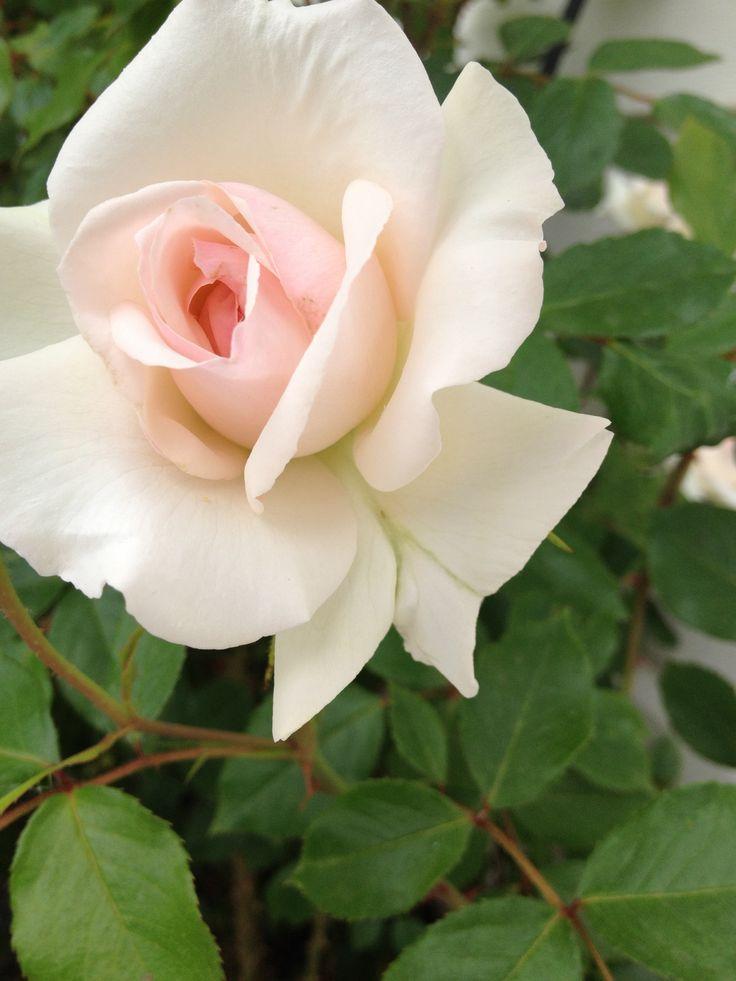 Swan Lake garden rose