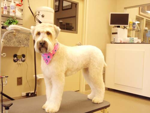 Soft Coated Wheaten Terrier After ( I think this is my favourite wheaten cut ever )