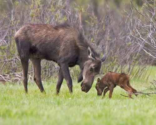 Cow Moose and Four-day-old Calf  Kawuneeche Valley, Rocky Mountain National Park, Colorado