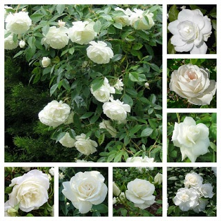 Rosa Iceberg: tips about flower growing