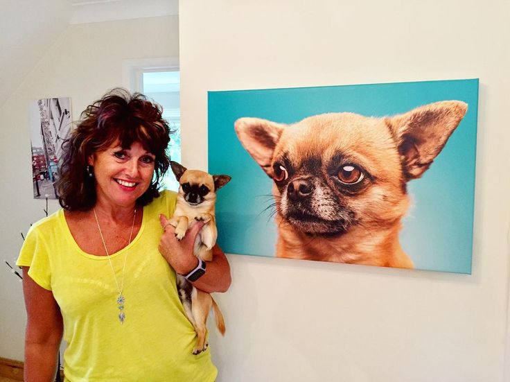 Always makes me happy to see a job fully finished. Just dropped off Percy blown up large on a canvas. Lovely bright colours which have set the hallway alive --------------------------------------- #doglover #cutedogs #jameskellystudio #chihuahua #chihuahuasofinstagram #petart #petpictures #petportrait #bournemouth #bournemouthphotographer #funnypets #colourfull
