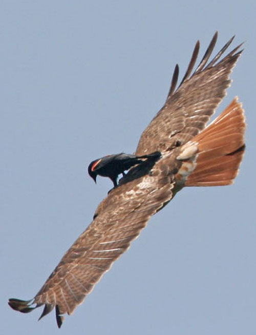 Red-winged Blackbird riding on the back of a Red-tailed Hawk...this is referred to as 'bird surfing'.  Certain 'bold (mostly corvids and some icterids), birds will do this to chase raptors out of their territory and away from their nests.