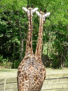 Illusion of 2-headed giraffe