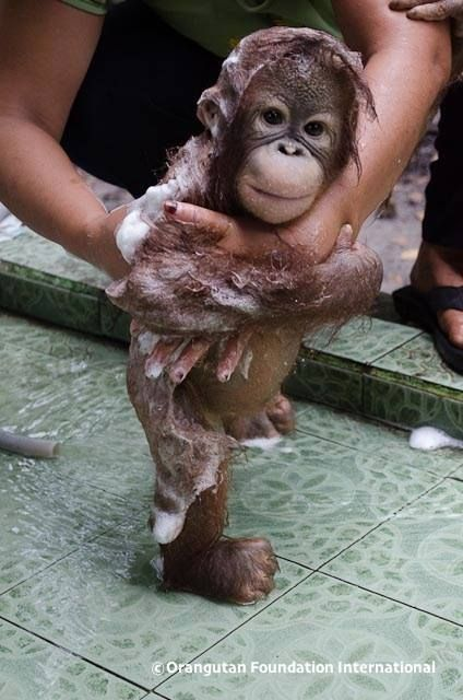 A baby orangutan having a bath!