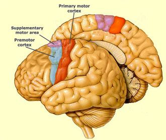 THE MOTOR CORTEX	 		THE BASAL GANGLIA		THE CEREBELLUM		THE ACTIVATION SEQUENCE FOR THE MOTOR AREAS So many different structures in the brain are involved in motor functions that some people even say that practically the entire brain contributes to body movements. Though the motor cortex is usually associated with Areas 4 and 6, the control of voluntary movements actually involves almost all areas of the neocortex.
