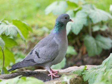 Stock Dove   (Columba oenas0