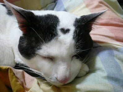love heart formation on the forehead of a black and white domestic cat • mystic earth home