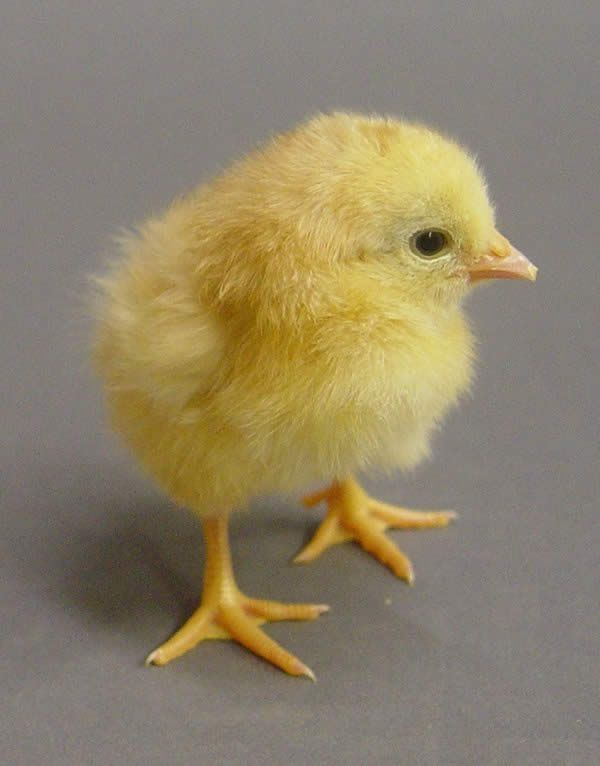 Baby Chicks are so cute