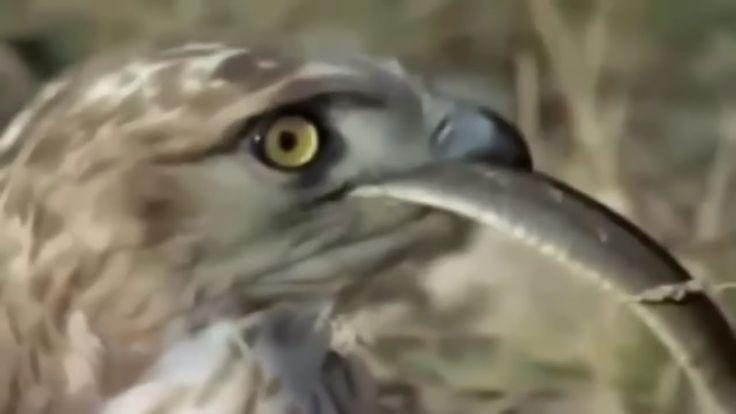 [Eagle vs Snake] 독수리 대 뱀 진짜 싸움