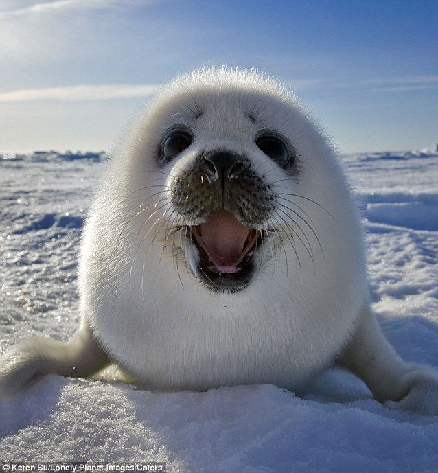 darksilenceinsuburbia:  Keren Su. Baby Canadian Harp Seal smiles for camera. Photographer Keren Su traveled to Îles de la Madeleine in Eastern Canada and snapped photographs of baby Canadian harp seals as they lounged and slept on the densely packed snow.